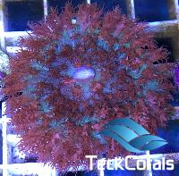Rhodactis St Thomas red