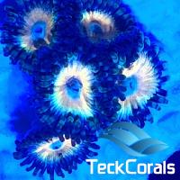 Zoanthus Blue Infusion