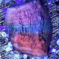 Chalice Unknown sp. red blue purple