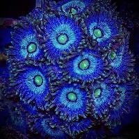 Zoanthus Frozen Nebula
