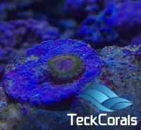 Zoanthus Krakatoa Pink